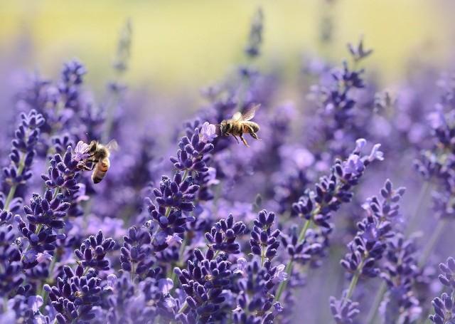 Z wytęsknieniem czekamy na ciepłe i słoneczne dni. Z wyższymi temperaturami wiąże się jednak pojawienie między innymi owadów. Ugryzienia niektórych z nich mogą być dla nas niebezpieczne. Zobaczcie, na jakie owady powinniśmy uważać. Szczegóły na kolejnych zdjęciach >>>
