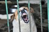 Agresywny pies sterroryzował działki w Bydgoszczy. Pogryziona 74-latka i strażnik miejski