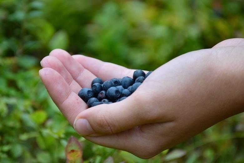 Rosnące w lasach owoce kuszą nas podczas letnich wędrówek....