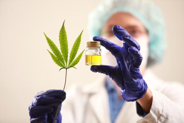 Gatunek Cannabis sativa wyróżniają charakterystyczne liście oraz bogate w żywicę kwiatostany, z których pozyskuje się lecznicze związki z grupy kannabinoidów