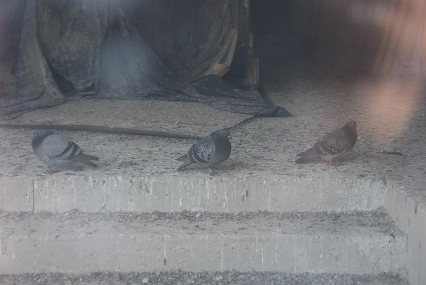 Przez szybę na parterze widać, gołębie i podłogę pokrytą...