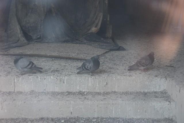 Przez szybę na parterze widać, gołębie i podłogę pokrytą ptasimi odchodami.