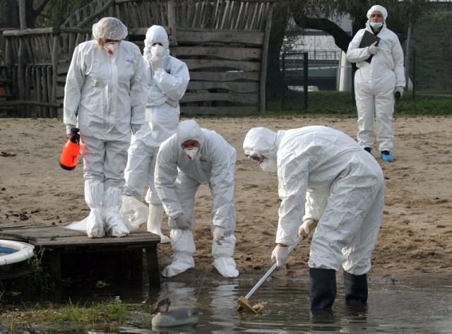 Ptasia grypa wykryta pod Poznaniem/zdjęcie ilustracyjne