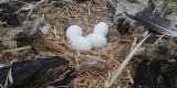 Kaleka para bocianów z Kozubszczyzny po raz pierwszy doczeka się potomstwa. Zobacz zdjęcia
