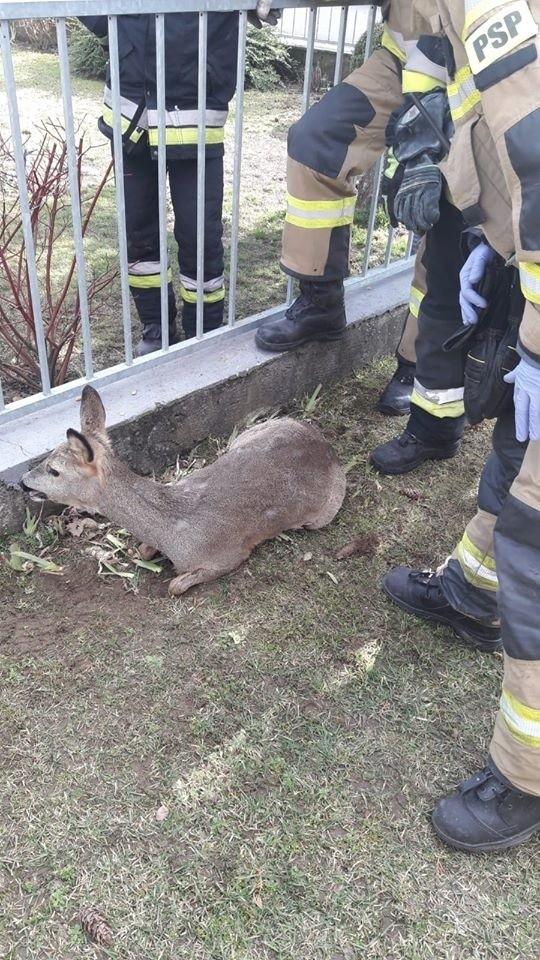 Sarna utknęła w ogrodzeniu w Niwnicy