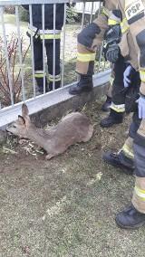 Sarna utknęła w ogrodzeniu w Niwnicy. Uratowali ją strażacy