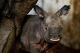 Sensacja we wrocławskim zoo. Urodził się nosorożec indyjski. To gatunek zagrożony wyginięciem