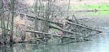 Na wyspie na kieleckim zalewie masowo niszczone są drzewa. To sprawka bobrów?