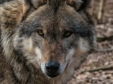 Są pierwsze ustalenia po sekcji zwłok dwóch wilczyc odstrzelonych w Zmiennicy pod Brzozowem. Odstrzał trzeciego wilka wstrzymany