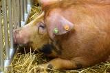Zapach świń przeszkadza, a składowisko śmieci nie? Trzodziarze o ustawie odorowej