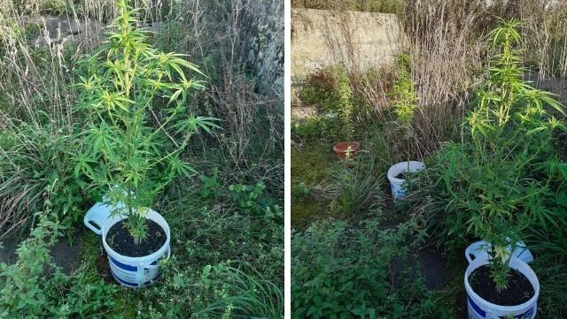W mieszkaniu kryminalni ujawnili susz roślinny w woreczku strunowym. Kontynuując przeszukanie za pomieszczeniem gospodarczych znaleźli trzy doniczki konopi indyjskich