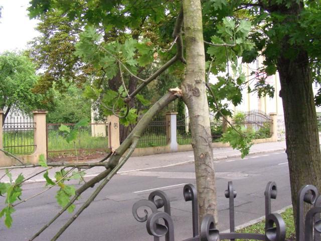 Dąb Wolnej Ukrainy - jeden z dwóch odłamanych konarów