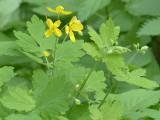 Glistnik jaskółcze ziele – właściwości lecznicze i zastosowanie Chelidonium majus. Działanie jaskółczego ziela na kurzajki i drogi żółciowe