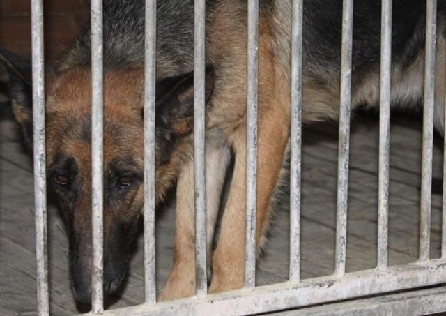 Psy, które pogryzły chłopca, trafiły do schroniska w Zielonej Górze.