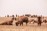 Stado żubrów beztrosko pasło się na polu pod Krynkami. Niezwykły widok [ZDJĘCIA, WIDEO]