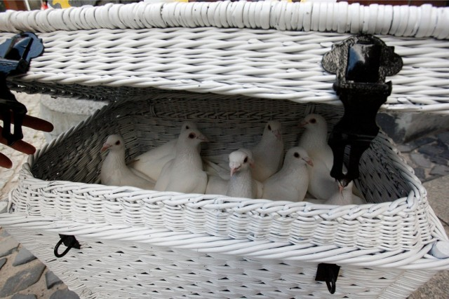 Białe gołębie na ślubach dbają o oprawę. Ale co dzieje się z nimi później?