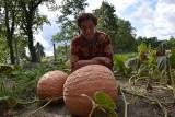 Dynie mają nawet po 70 kilogramów, a arbuzy pokryły całe pole. Wanda Matras z Otynia ma rękę do warzyw