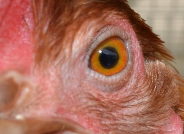 W Polsce hoduje się 6183,3 tys. sztuk bydła i 11027,7 tys. sztuk świń (według danych z grudnia 2018 r.). Gatunków zwierząt hodowlanych jest znacznie więcej. Nie wszyscy mają okazję przyjrzeć im się z bliska. Rozpoznajecie, czyje to oczy? Na kolejnych zdjęciach znajdziecie odpowiedzi.
