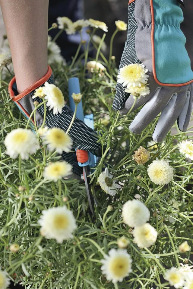 Rękawice ogrodniczeRękawice ogrodnicze są odpowiednie do wszystkich delikatnych prac ogrodniczych i pielęgnacyjnych np. przesadzanie, pikowanie, sadzenie. Wykonane z oddychającej i trwałej tkaniny bawełnianej z chropowatą powłoką od wewnętrznej strony. Optymalnie przylegają do dłoni dzięki specjalnie uformowanemu kciukowi.