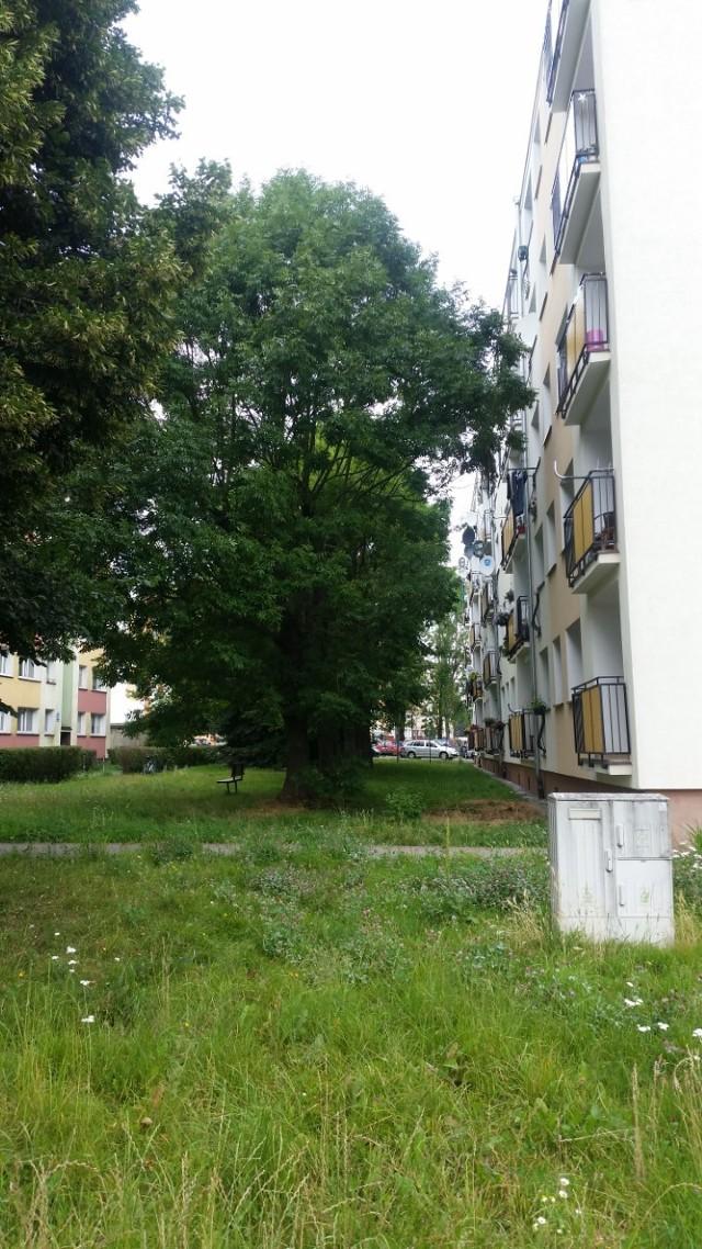 Problemy z wysokimi drzewami przy ul. Lechickiej