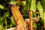 Ceny za koszenie kukurydzy jesienią 2021 rosną przez drogie paliwo. Trwa zbiór na kiszonkę, zaczyna się na ziarno
