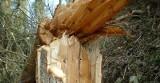 Wichura połamała drzewa. Jest zakaz wstępu do lasu