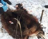 Policja w lesie w Czostkowie. Znaleziono worki ze skórą i wnętrznościami z dzika. Uwaga! Drastyczne zdjęcia