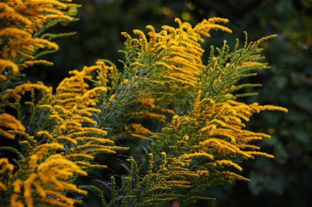 Ludzie od wieków nazywają rośliny po swojemu nie znając często nazw botanicznych, oficjalnych. A upodobali sobie szczególnie te związane z religią. W polskiej tradycji ludowej  Matce Boskiej poświęconych jest najwięcej roślin.Drzewko Matki Boskiej, czyli nawłoć swoją nazwę zawdzięcza temu, że zakwita około 15 sierpnia, w czas ważnego święta kościelnego, Matki Boskiej Zielnej. Swoją drogą Julian Tuwim także się pomylił i nazwał nawłoć mimozą. Jest to roślina lecznicza, używana m.in. w kąpielach napinających zwiotczałą skórę.