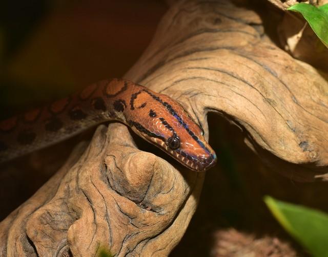 Boa został przekazany do Towarzystwa Opieki nad Zwierzętami, które szuka teraz nowego lub starego właściciela węża.
