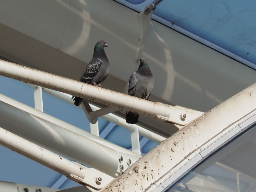 Z upodobaniem przesiadują tu gołębie.