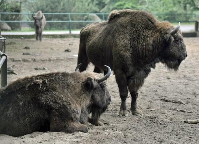 Teren zagrody będzie podzielony na dwie części. W hodowlanej żubry będą mogły przebywać przez nikogo nie niepokojone.
