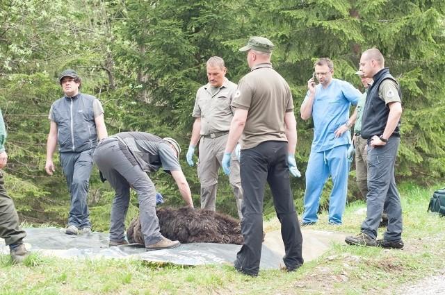 Ciężko rannego niedźwiedzia Eryka uśpili pracownicy TPN-u. Zwierzę było częściowo sparaliżowane.