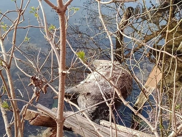 Nie wiadomo co było przyczyną śmierci dzików znalezionych w Jeziorze Licheńskim