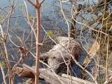 Martwe dziki całe święta leżały w jeziorze. Za znalezienie padłych zwierząt przysługuje nagroda, ale nie dla każdego