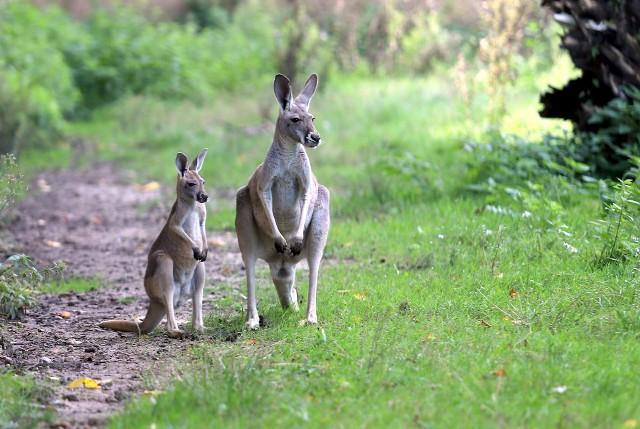 Na wybiegach bryka kudu, skacze kangur,  przechadza się kazuar. Panda mała uczy się wspinać po konarach. W wolierze fruwają dwa dzioborożce. To maluchy, które w tym roku urodziły się w łódzkim zoo. ZOBACZ ZDJĘCIA