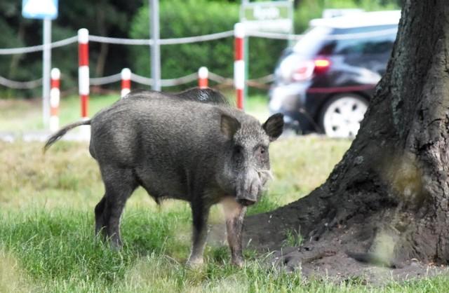 Dziki wchodzą do miast. Białystok zdecydował się na odstrzały