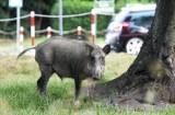 Białystok walczy z dzikami, na które skarżą się mieszkańcy. 80 zwierząt zostanie odstrzelonych przez myśliwych
