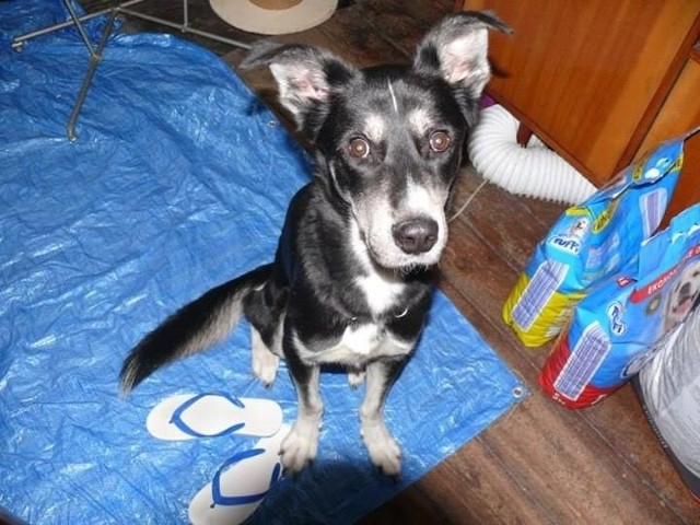 Bity i głodzony Reksio podczas interwencji TOZ. Kontakt w sprawie adopcji: 518 756 665