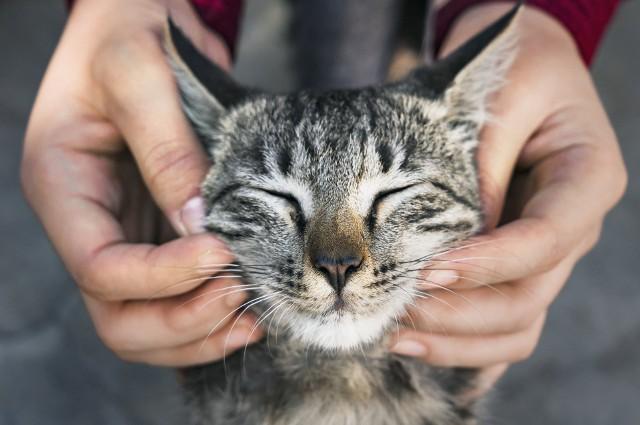 Najdroższe rasy kotów. Za te koty trzeba zapłacić majątek!