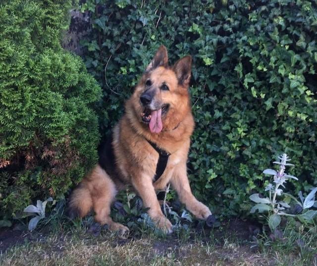 Saba mieszkała w Miejskim Schronisku dla Bezdomnych Zwierząt w Opolu przez blisko dwa lata. 13-letnia dziś suczka ma tyle schorzeń, że mogłaby obdzielić nimi kilka psich nieszczęść. Po śmierci Azy los się do niej uśmiechnął. Od tygodnia mieszka w nowym domu.