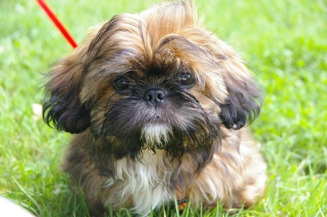 """10. SHIH TZURasa, która zakwalifikowana została do psów do towarzystwa. Są psami wesołymi, ich charakter zwykle dostosowuje się do trybu życia domowników. Nazwa rasy pochodzi od języka chińskiego i w wolnym tłumaczeniu oznacza """"lwi pies""""POLECAMY:"""
