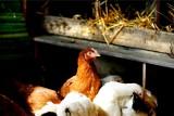 Ptasia grypa znów atakuje