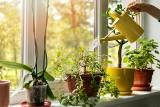 Jak nie zabić roślin doniczkowych? Oto najpopularniejsze gatunki i ich wymogi. Praktyczne porady dla wielbicieli zieleni