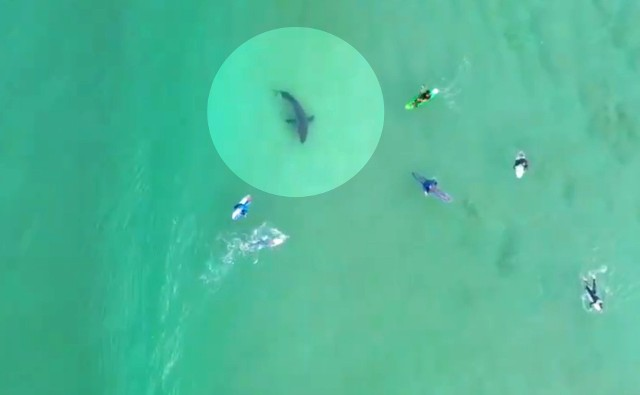 """Zachowanie widoczne na filmie z drona pokazuje, że rekin jest świadomy obecności surferów i """"bada"""" ich"""