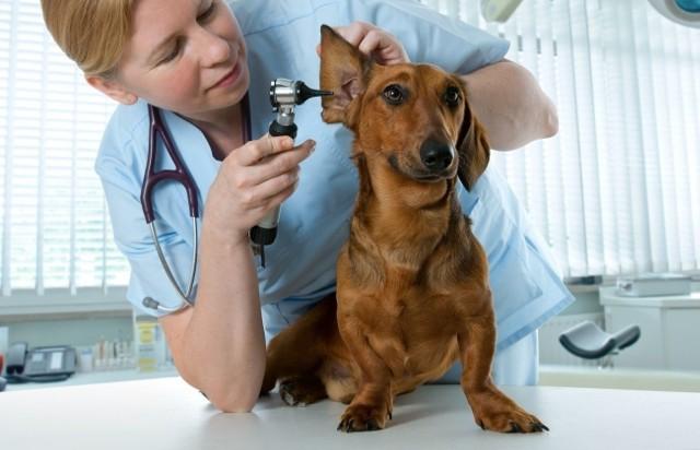 Szukasz dobrego weterynarza dla swojego psa, kota, chomika, świnki morskiej albo innego zwierzaka? Tutaj znajdziesz nazwiska lekarzy i adresy gabinetów weterynaryjnych polecanych przez największą liczbę użytkowników serwisu ZnanyLekarz.pl. Zamieszczamy także wykaz świadczonych przez nich usług i specjalizacji. Zobacz ranking weterynarzy w Poznaniu ---->