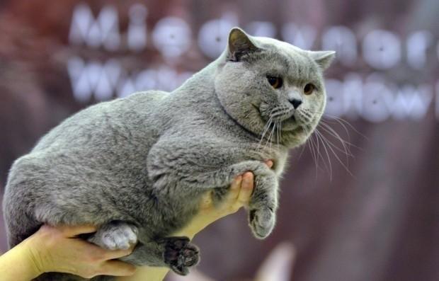 Na Wystawie Kotów Rasowych.