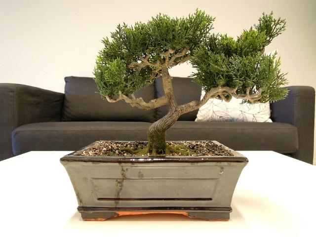 Bonsai jako dekoracja salonuDoniczka do uprawy bonsai powinna być tylko nieco większa od bryły korzeniowej rośliny.