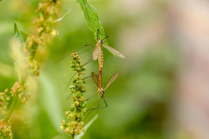 Z plagą komarów borykają się mieszkańcy m. in. osiedla...