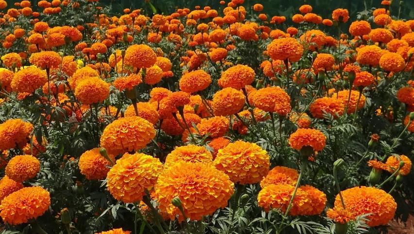 Aksamitki należą do najbardziej popularnych kwiatów...