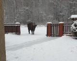 Żubry wychodzą z Puszczy Białowieskiej. Bliskie spotkania z dzikim zwierzęciem mogą być niebezpieczne. Trzeba zachować dystans (zdjęcia)